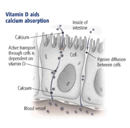 Vitamin D and calcium absorption