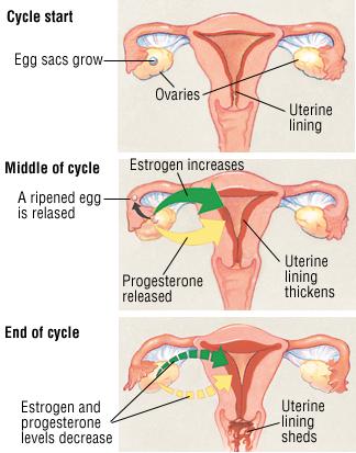 Menopause And Perimenopause Harvard Health