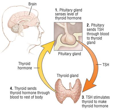 Hypothyroidism Harvard Health
