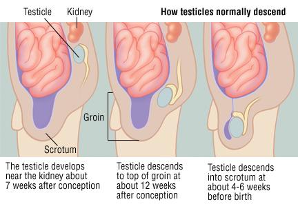 Retractile testes during sex
