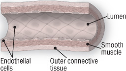 illustration of artery showing endothelial cells