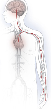 illustration of circulatory system reacting to cold
