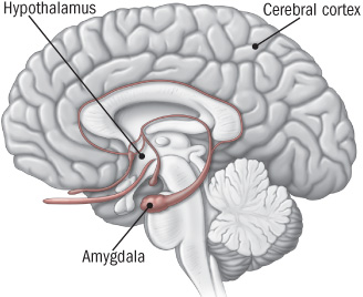 illustration of brain showing areas activated by stress