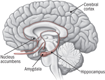 illustration of brain showing areas involved in addiction