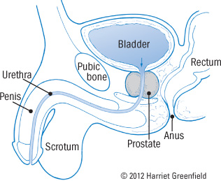 illustration of male anatomy showing prostate gland