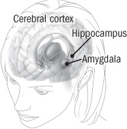 illustration of areas of the brain involved in memory