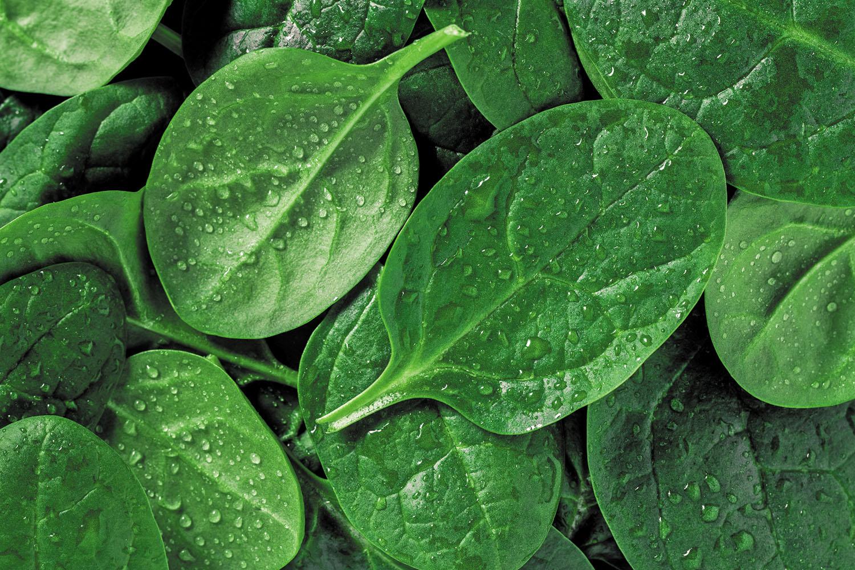 p8_Spinach_MLJan19_gi906619122.jpg