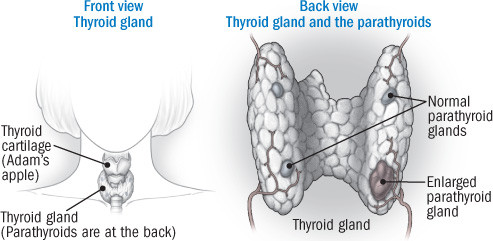 Illustration of thyroid gland and the parathyroids
