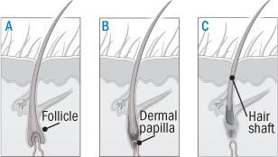Illustration of the growth cycle of a hair