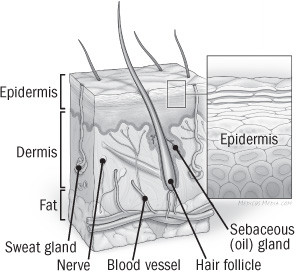 illustration of cross section of the skin
