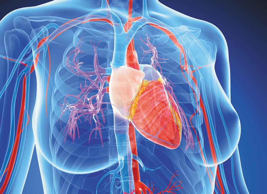 female-heart anatomy