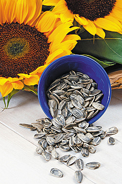 Seed of the month: Sunflower featured image