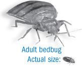 photo of adult bedbug