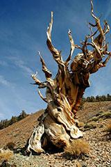 Ancient-Tree