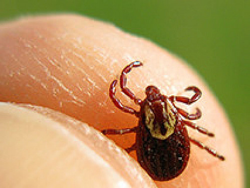 Lyme disease 10 times more common than thought featured image