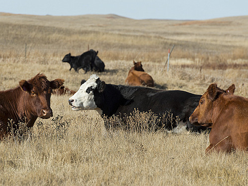 Raising beef creates more pollution than raising pork, poultry, dairy, or eggs featured image
